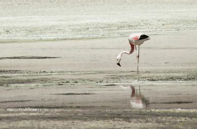 Flamingo auf dem bolivianischen Altiplano