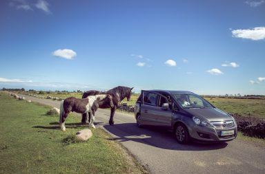 Pferde gucken neugierig ins Auto
