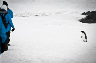 Antarktis-Pinguin