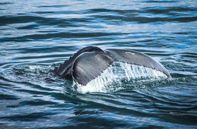 Walfluke eines Buckelwals