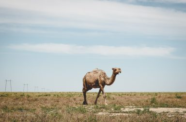 Dromedar in Kasachstan