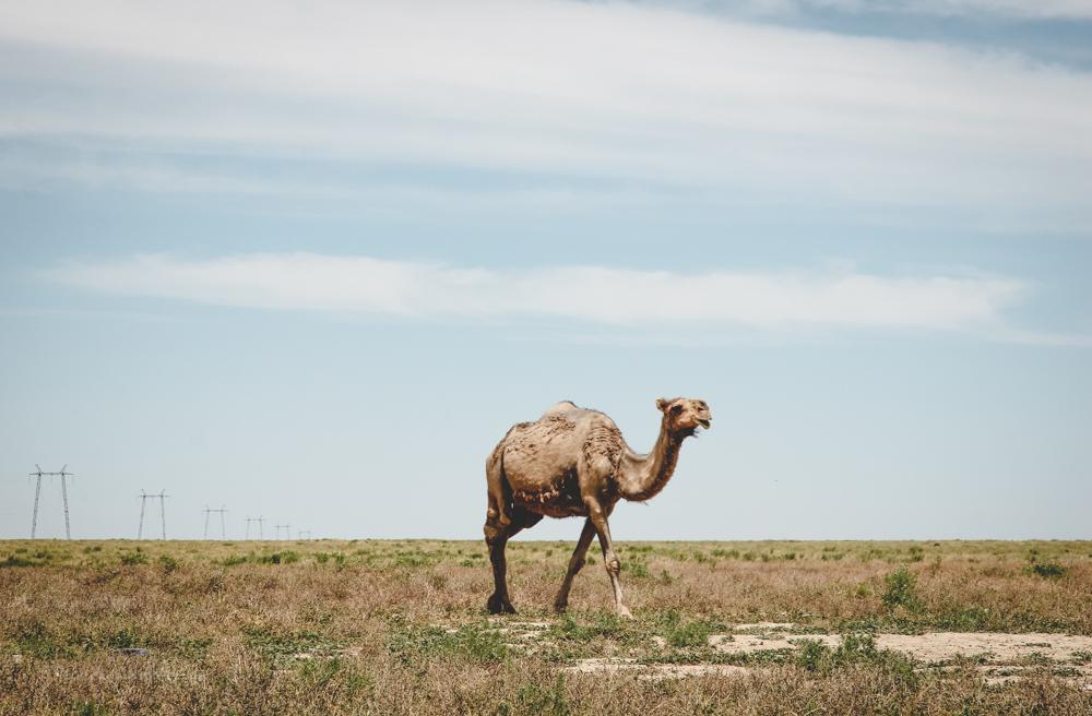 Auf einer Kamelfarm in Kasachstan | blickgewinkelt