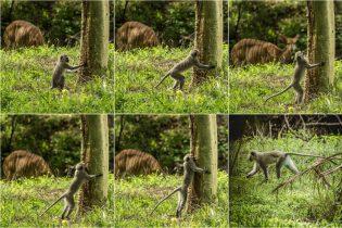 Baum küssender Affe.