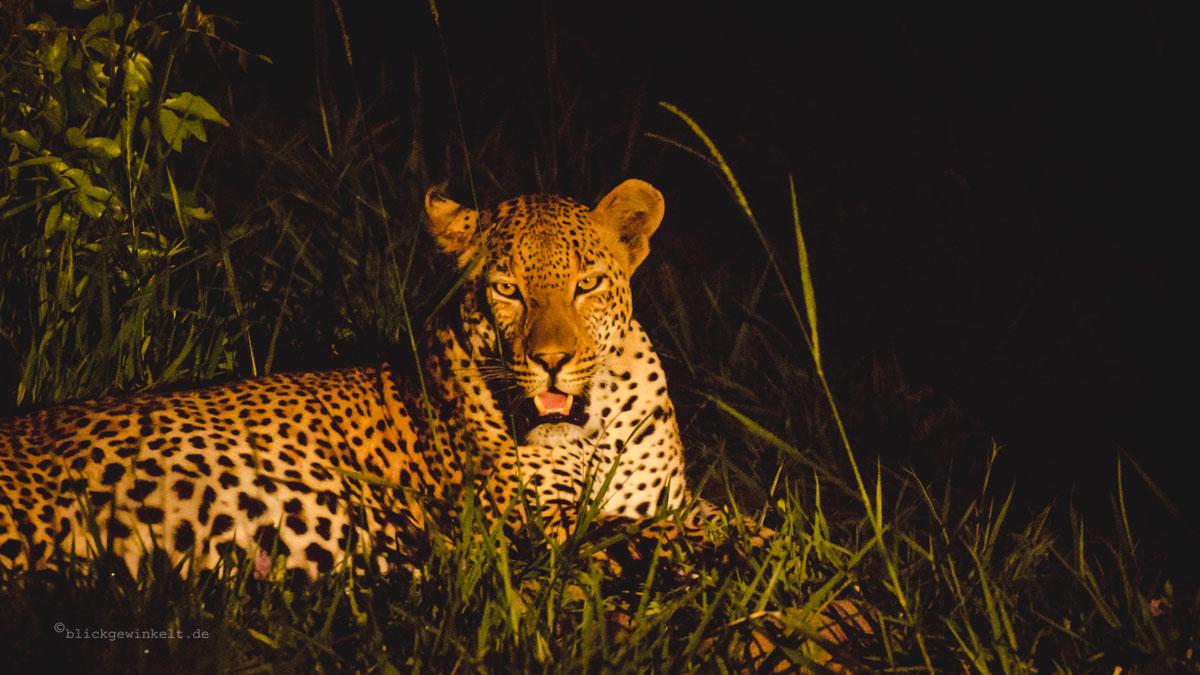 Leopard bei Nacht - auf Safari in Südafrika