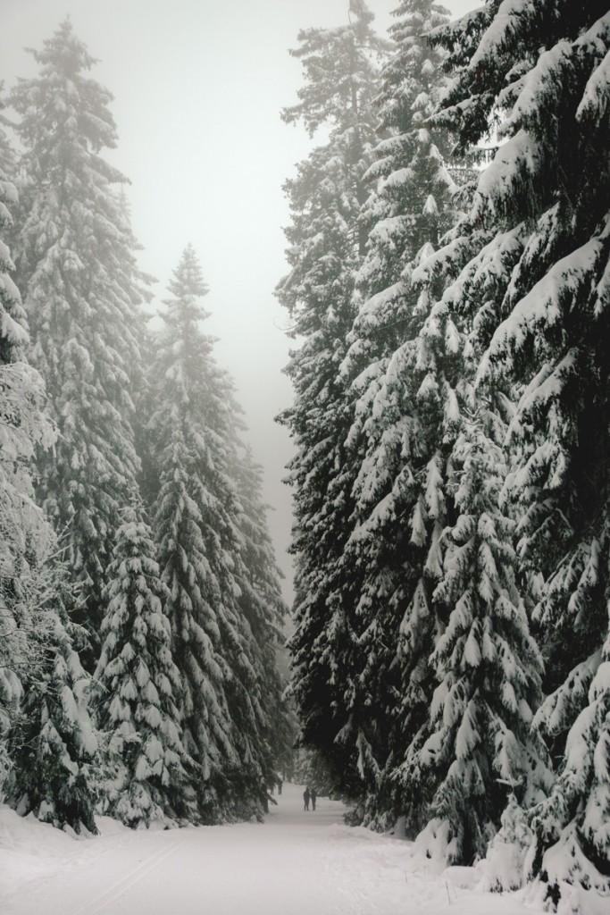 Hohe Tannen im Harz