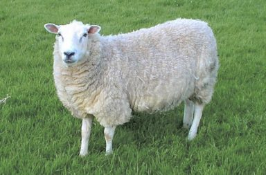 Klon-Schaf