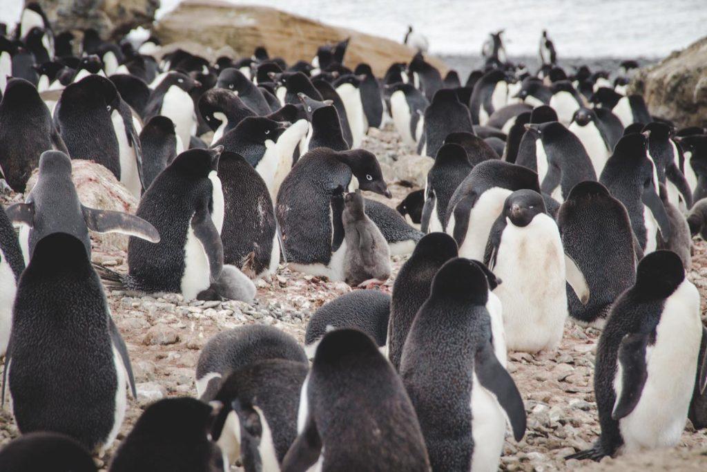 Adelie Pinguine in der Antarktis