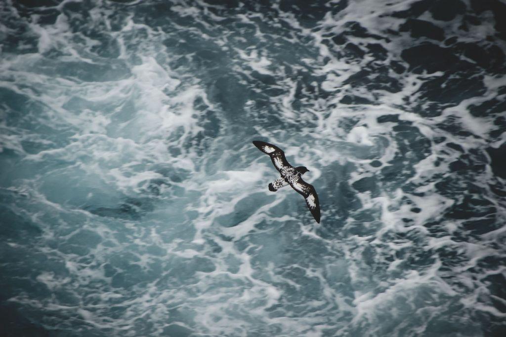 Kapsturmvogel - Cape Petrel