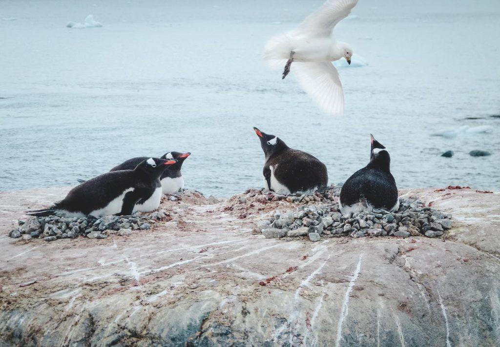 Pinguine und Scheidenschnabel