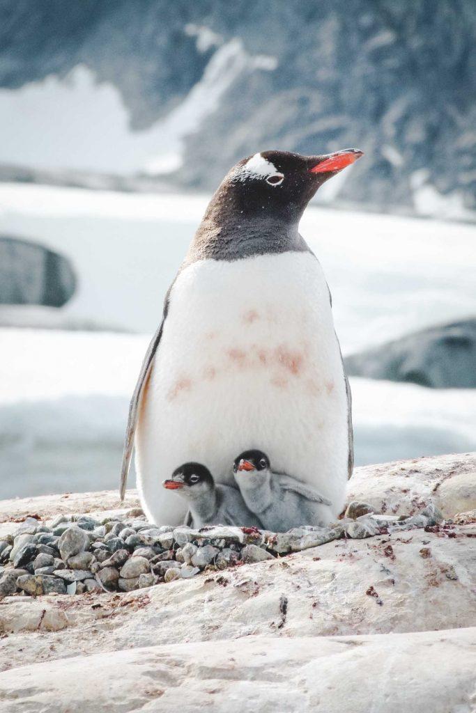 Eselspinguin mit Jungen in der Antarktis