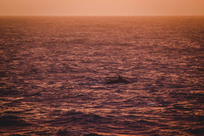 Finnwal im Sonnenuntergang in der Antarktis