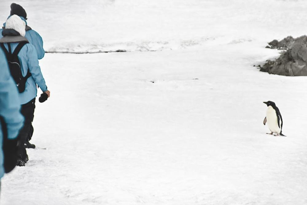 Antarktis-blickgewinkelt-Pinguin