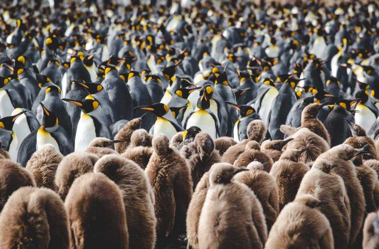 Wo leben welche Pinguine? Übersichtskarte über Pinguinarten und Lebensraum