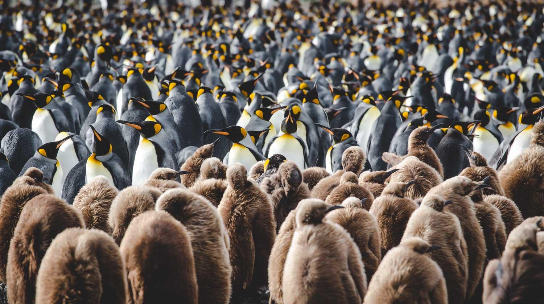 wo leben pinguine pinguinarten und lebensraum blickgewinkelt. Black Bedroom Furniture Sets. Home Design Ideas