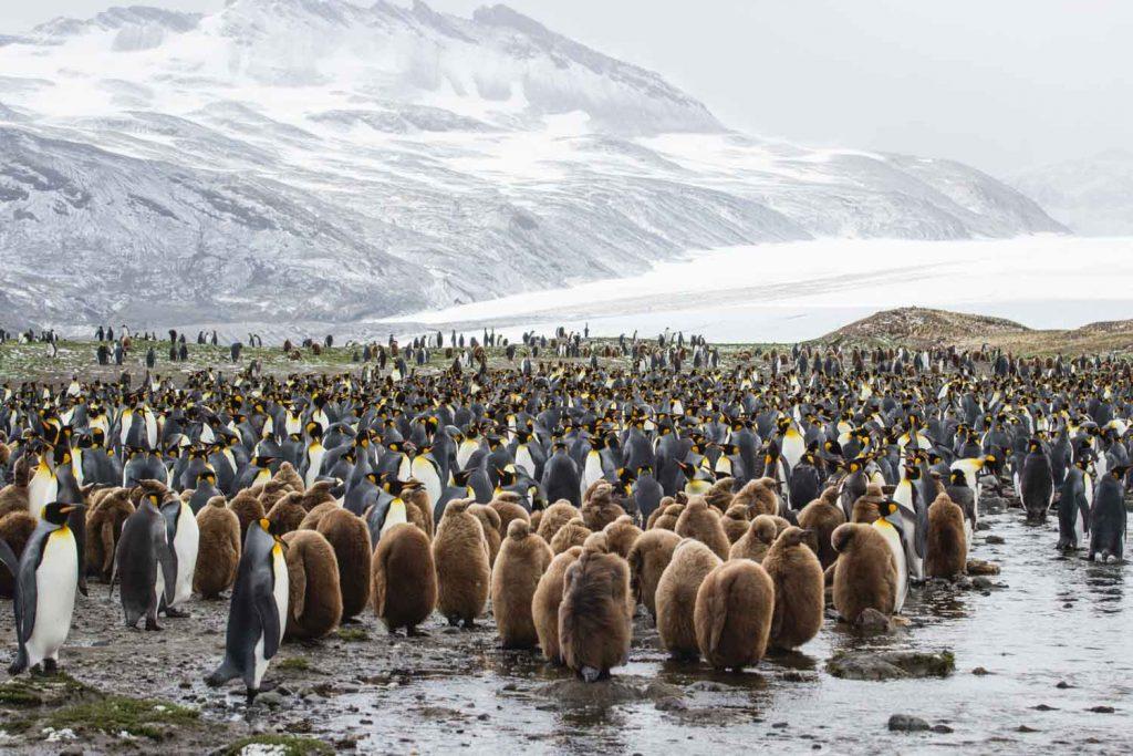Königspinguinkolonie vor Gletscher