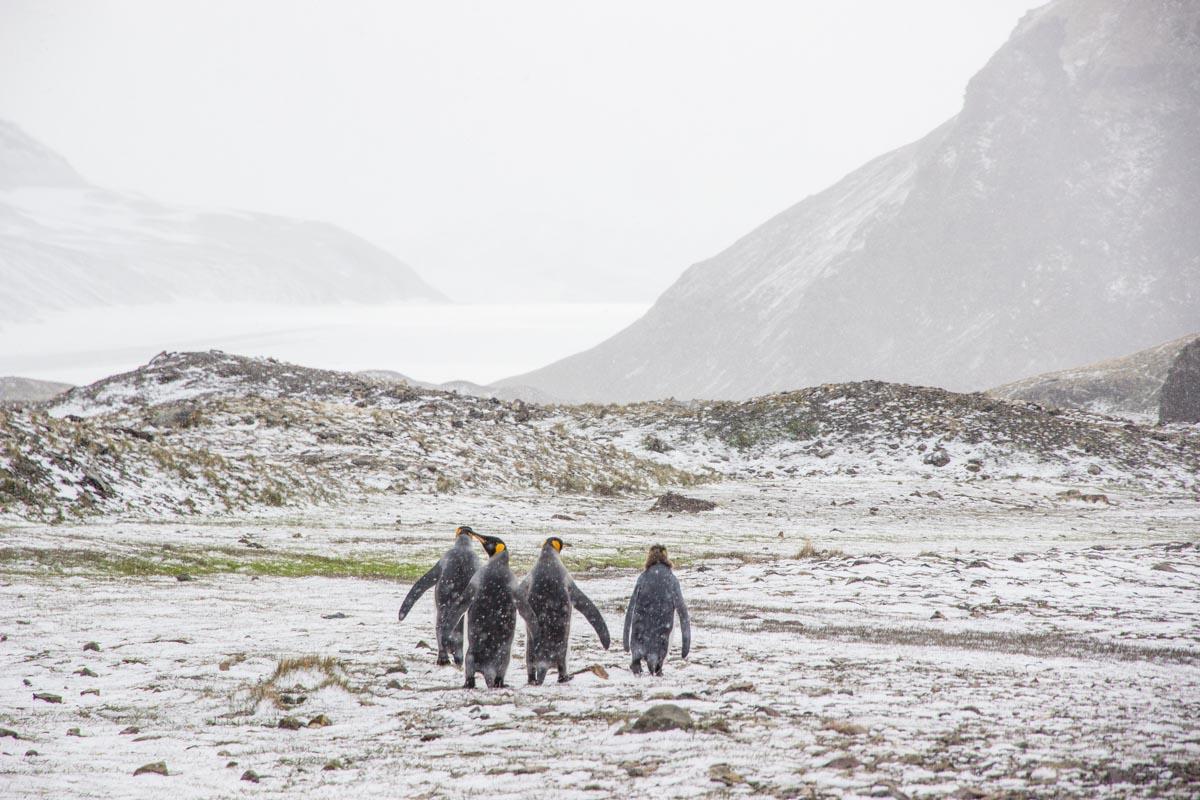 Königspinguine im Schnee