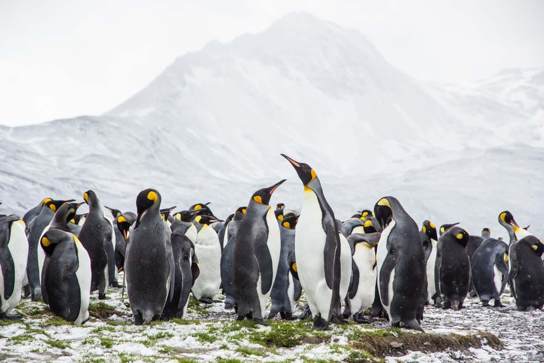 Gruppe von Königspinguinen