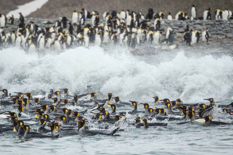 Königspinguine im Wasser zwischen Wellen