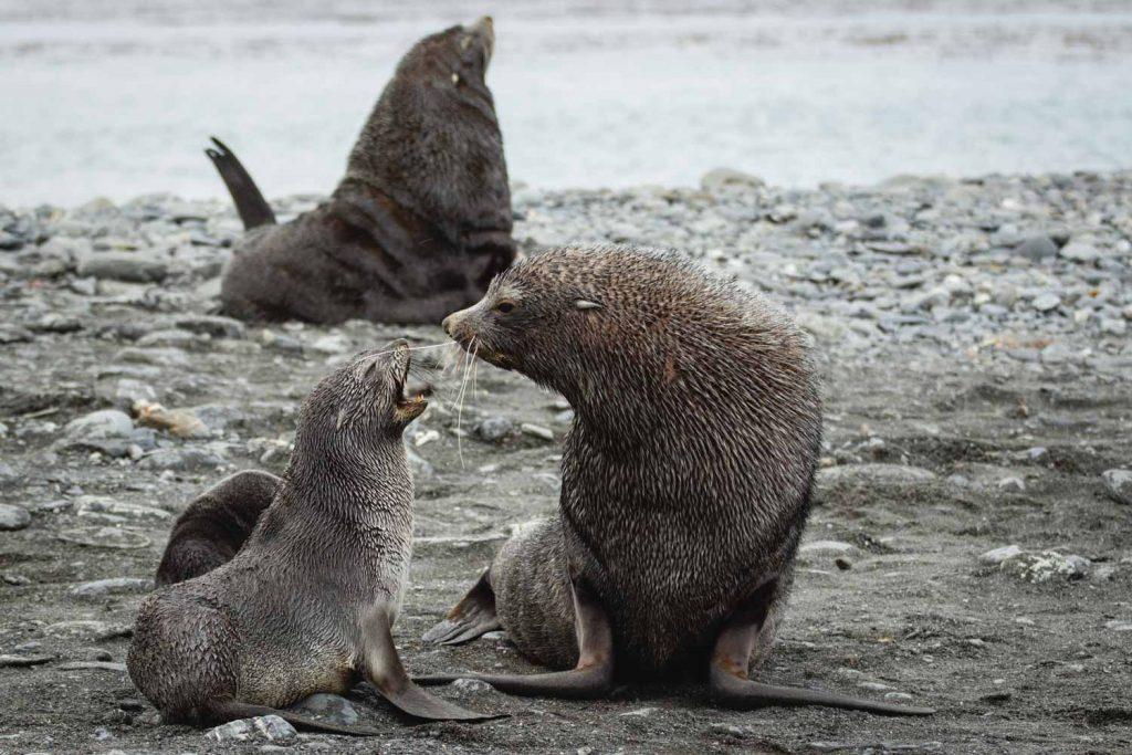 Seebären-Muttertier mit Junges