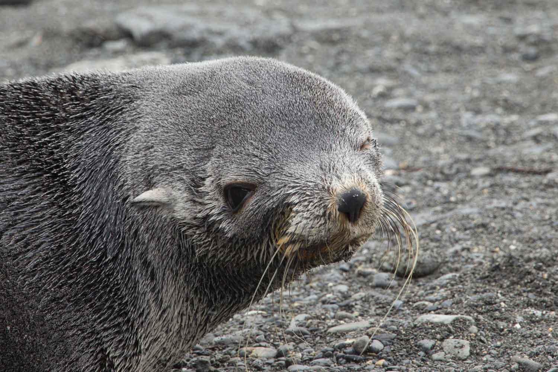Seebär oder auch Pelzrobbe