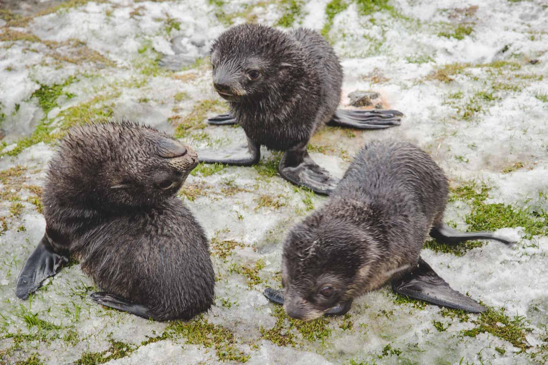 Jungtiere Seebären