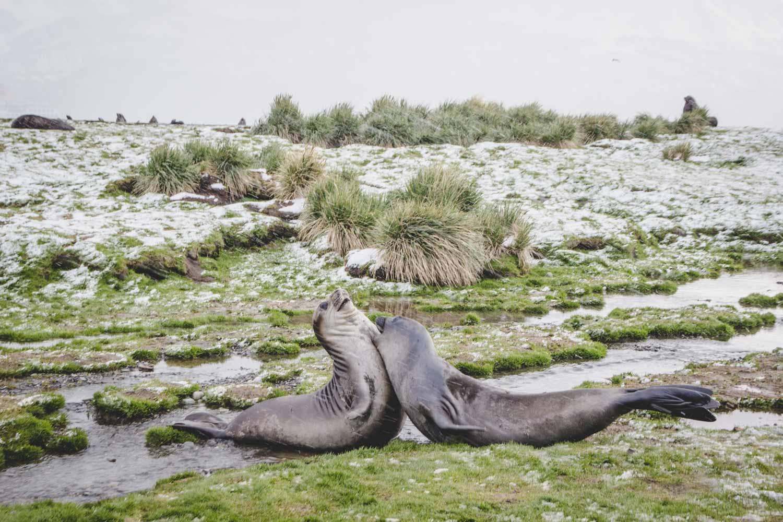 Kämpfende Seeelefanten auf Südgeorgien