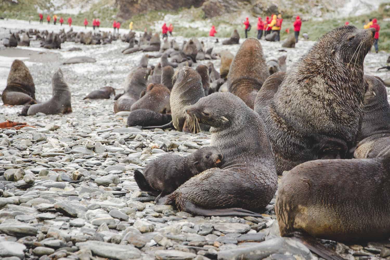 Kaum ein Weg zwischen den vielen Seebären hindurch