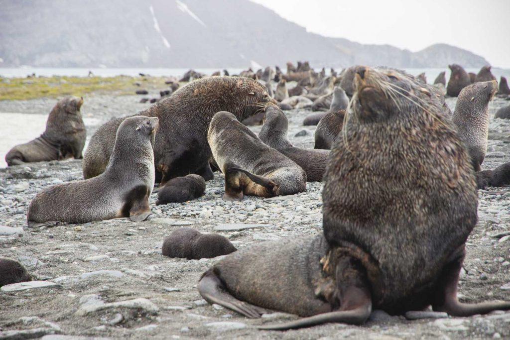 Seebären oder Pelzrobben auf Südgeorgien