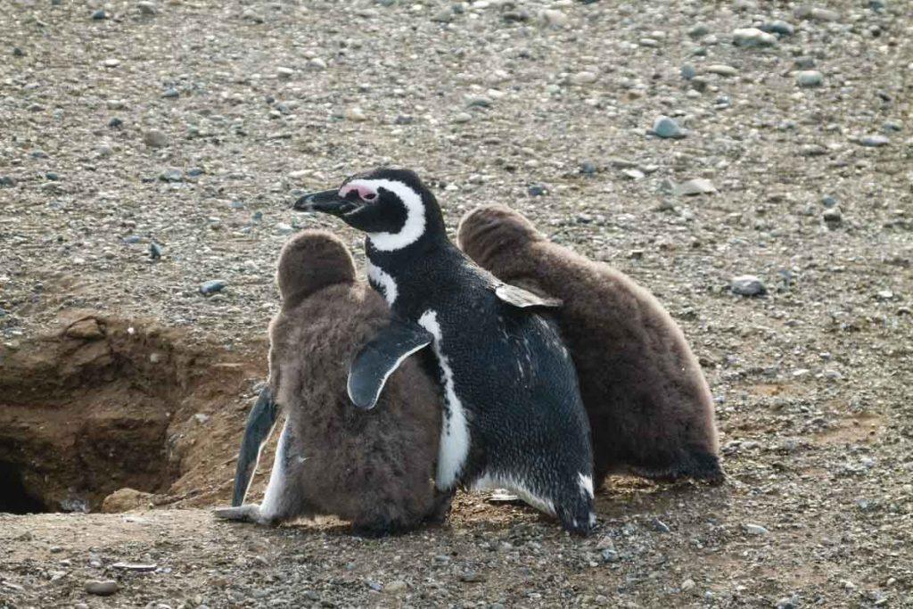 Magellan-Pinguin mit Küken