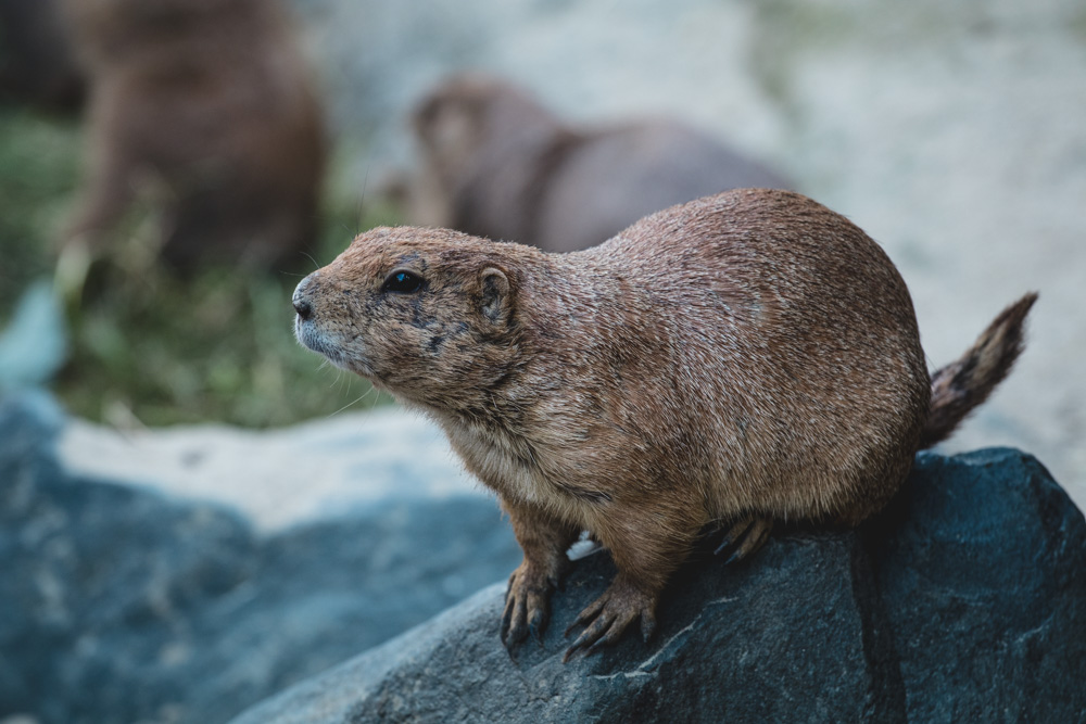 Nagetier, Hannover Zoo