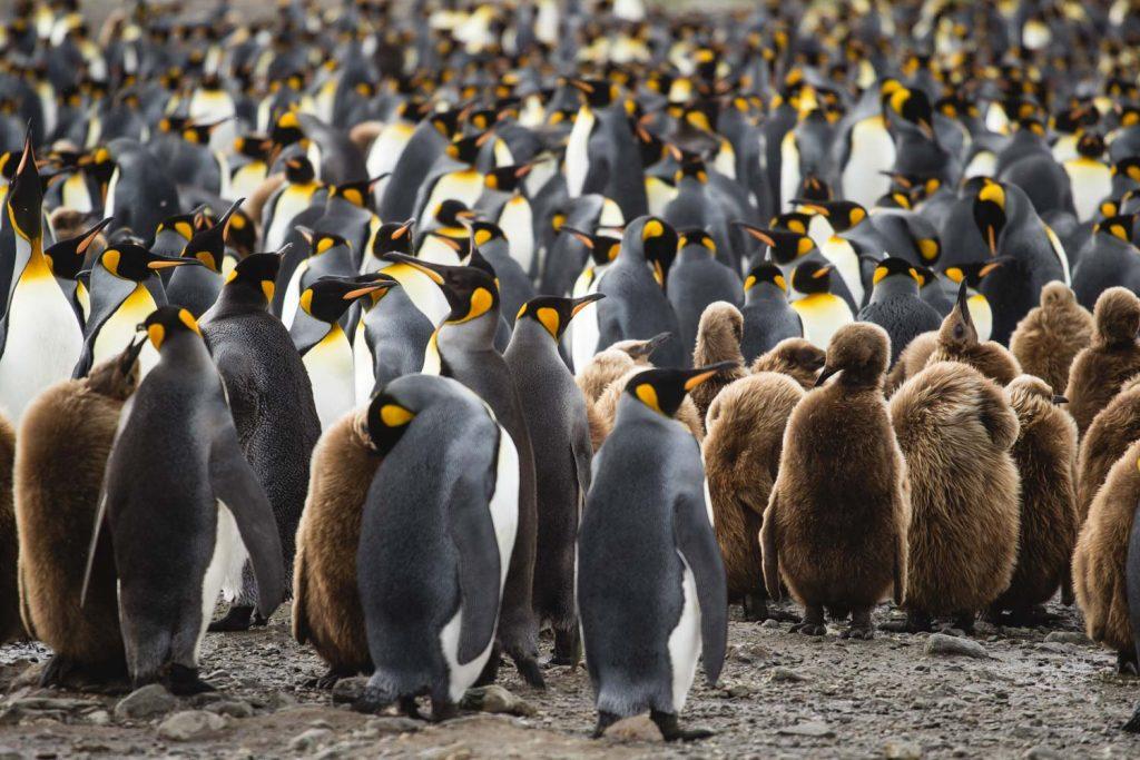 Königspinguine in der Subantarktis