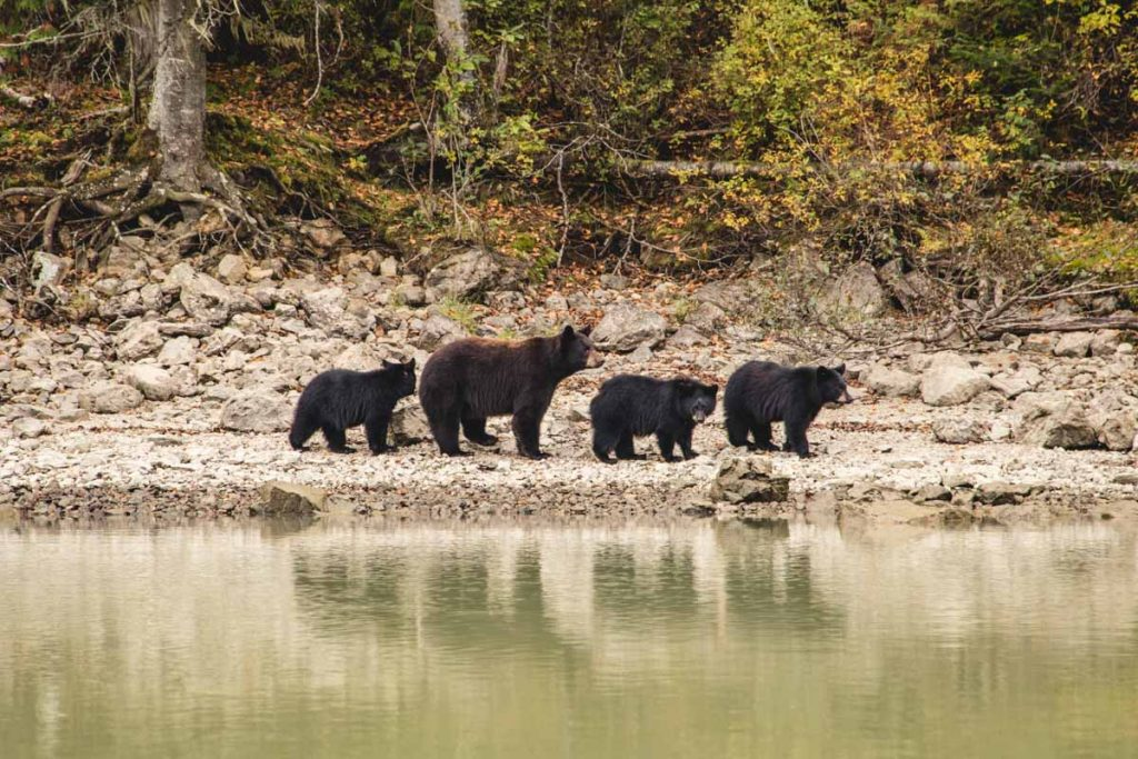 Schwarzbären, Mutter und Cubs in Kanada am Mud River