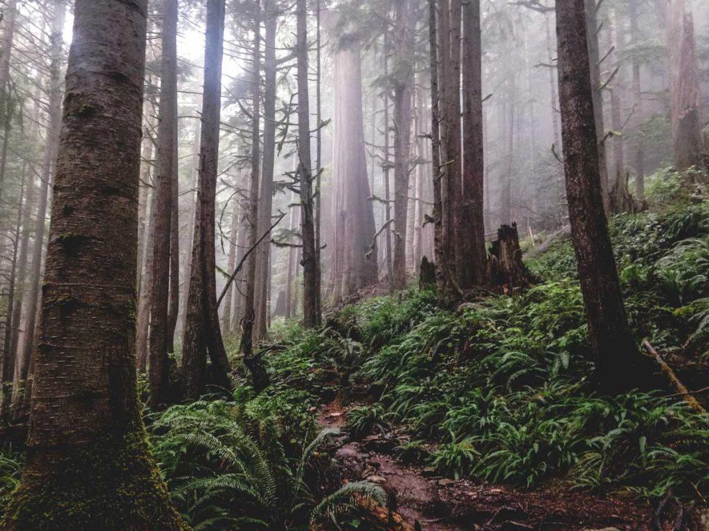 Urwald mit Zedern auf Vancouver Island in Kanada