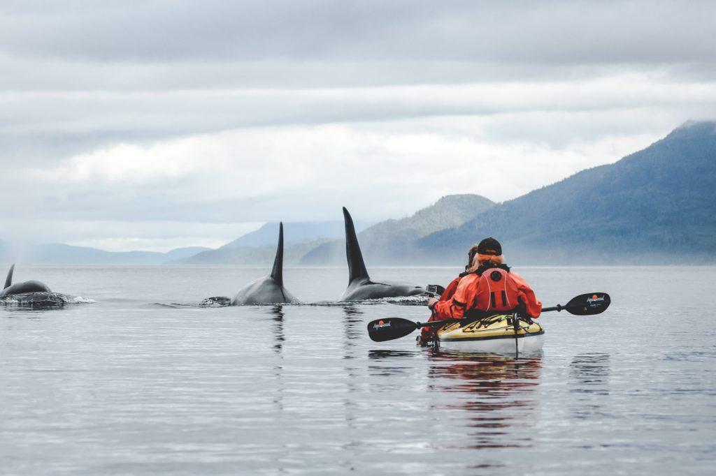 Kajaking mit Orcas auf Vancouver Island. Foto: Jordan Gatto