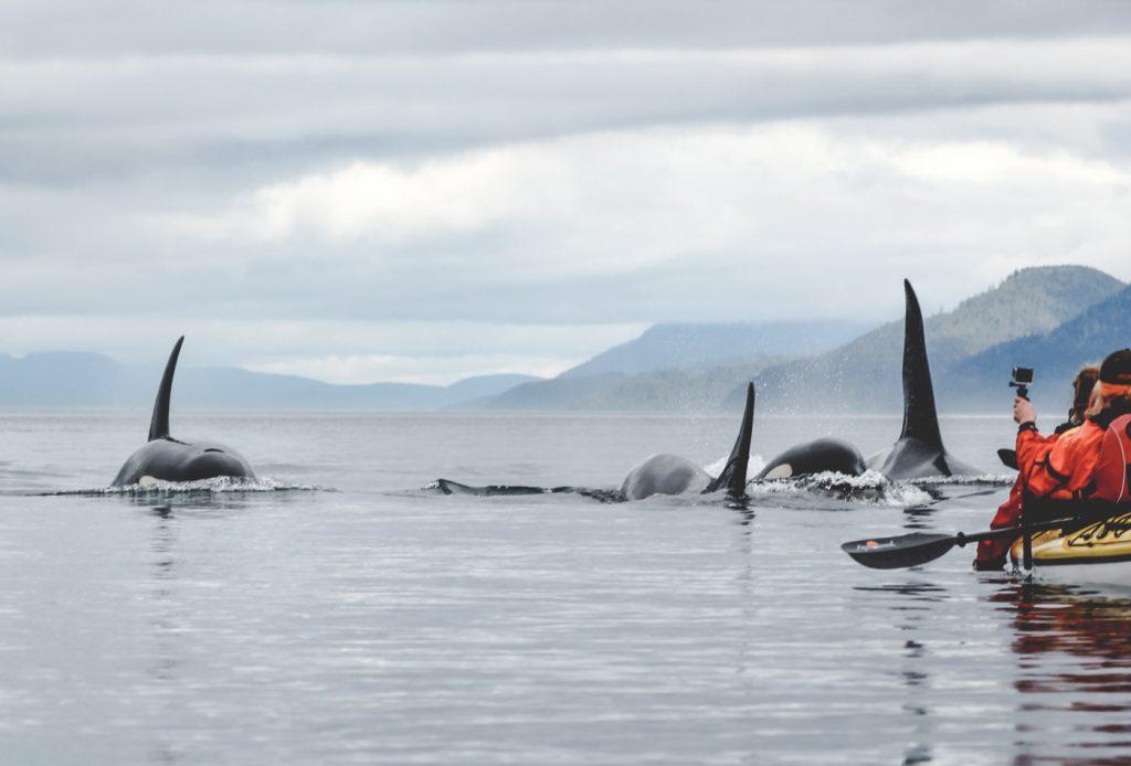 Orcas direkt vor unserem Kajak.