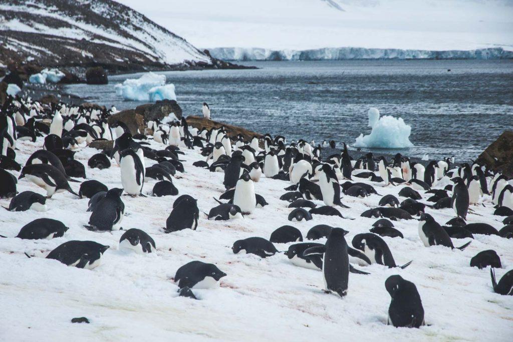 brütende Adelie-Pinguine