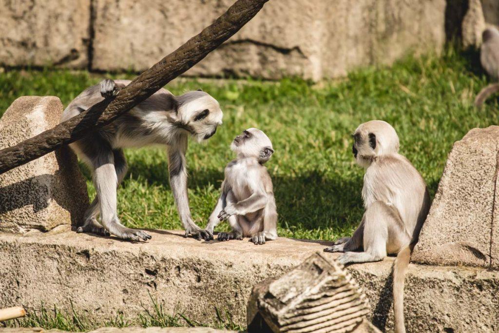 Affen im indischen Tempel im Zoo