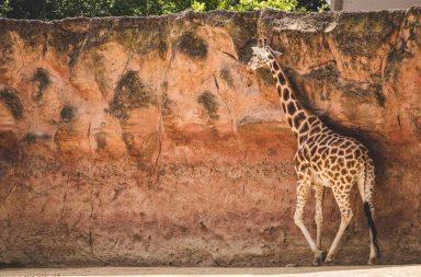 Giraffe im Hannover Zoo