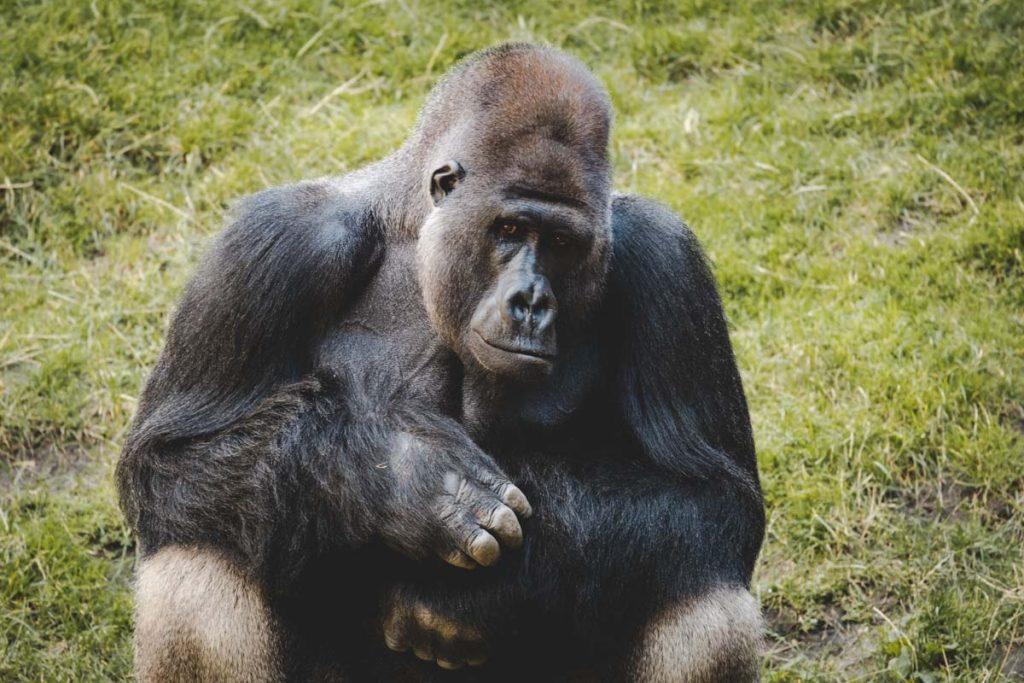 Gorilla im Hannover Zoo