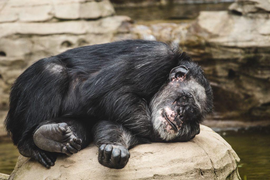 Dösender Schimpanse auf einem Stein