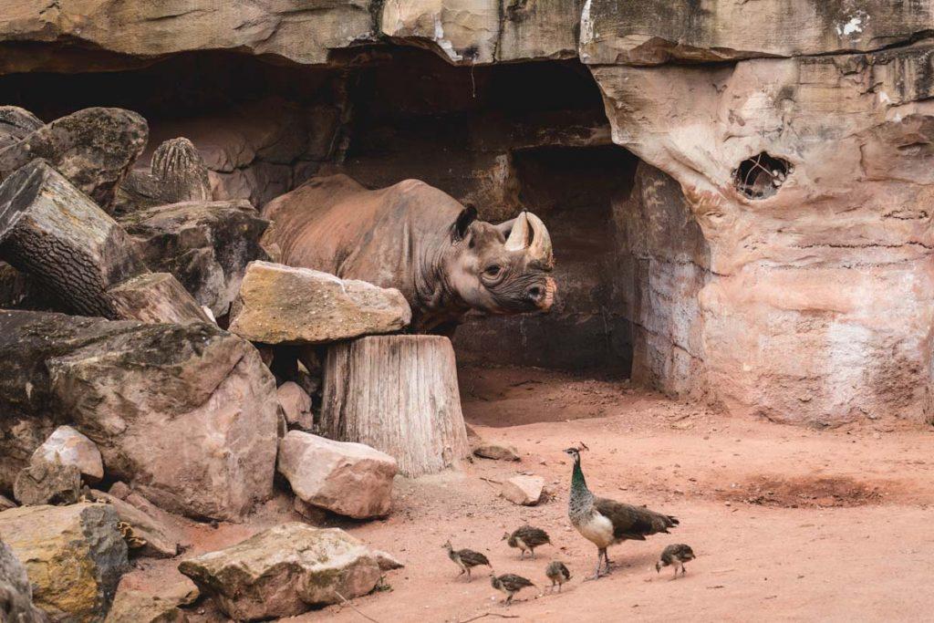 Nashorn im Hannover Zoo