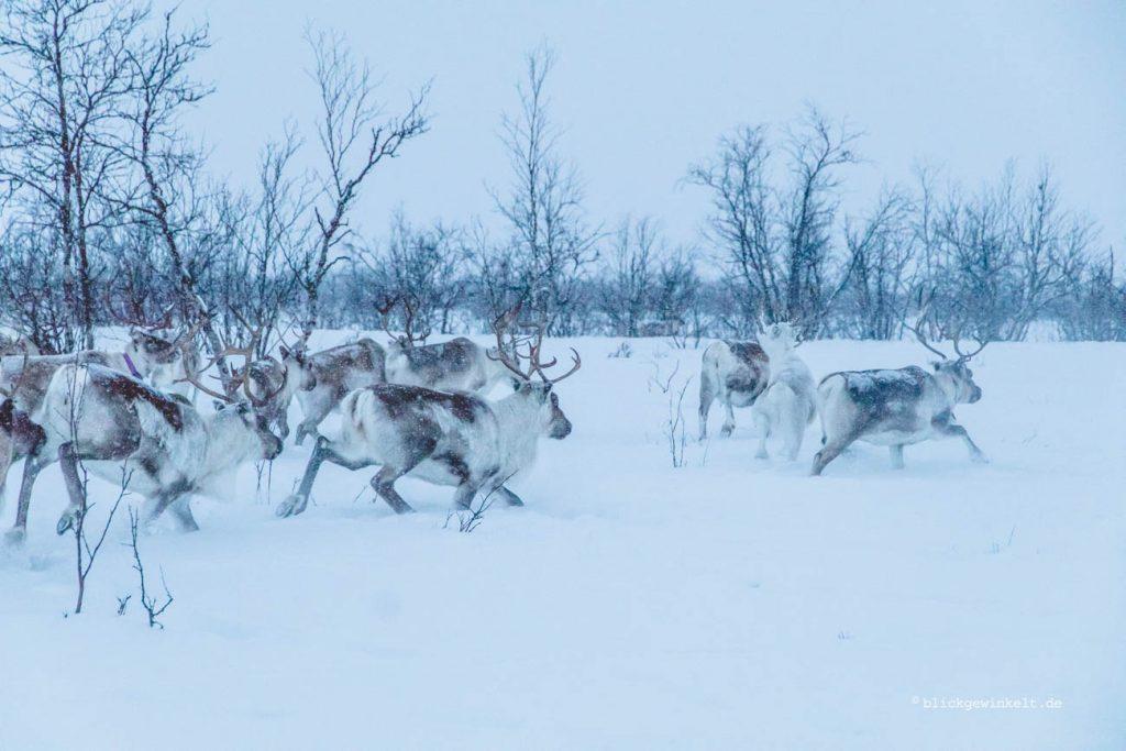 Rentiere im Schneegestöber
