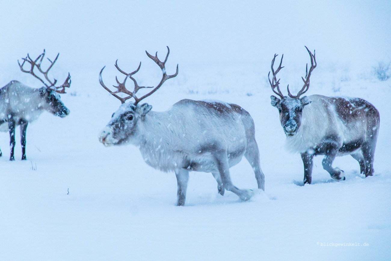 Bei den Rentieren der Sami {Norwegen} | blickgewinkelt