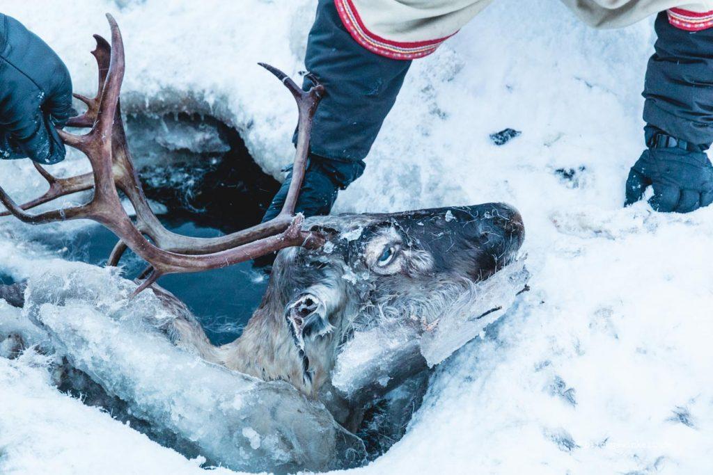 ein im Eis eingebrochenes und ertrunkenes Rentier