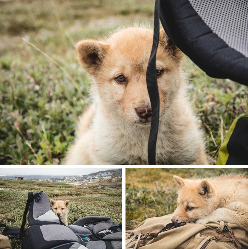 Junger Grönlandhund