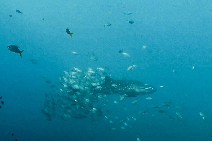 Walhai im Golf von Thailand