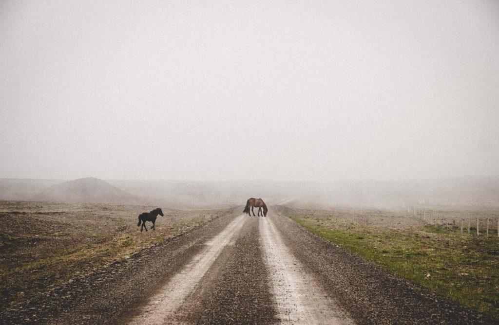 Islandpferde auf vernebelter Straße