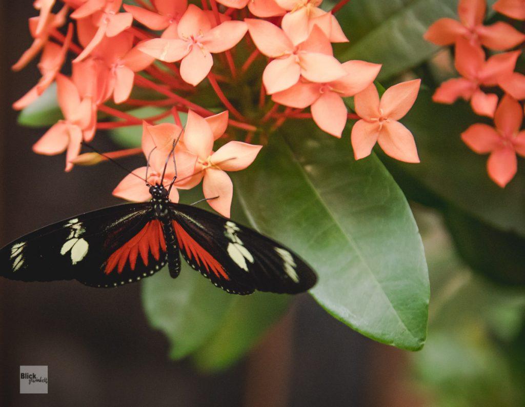 Schmetterlings in der Biosphäre Potsdam