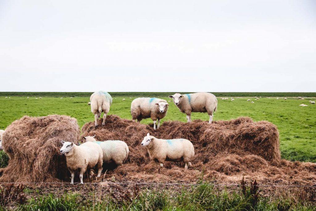 Schafe auf Heuballen