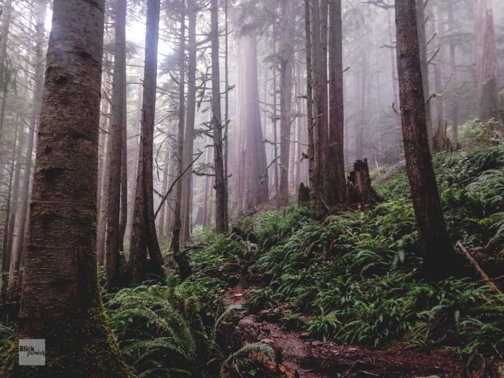 Zedern auf Vancouver Island